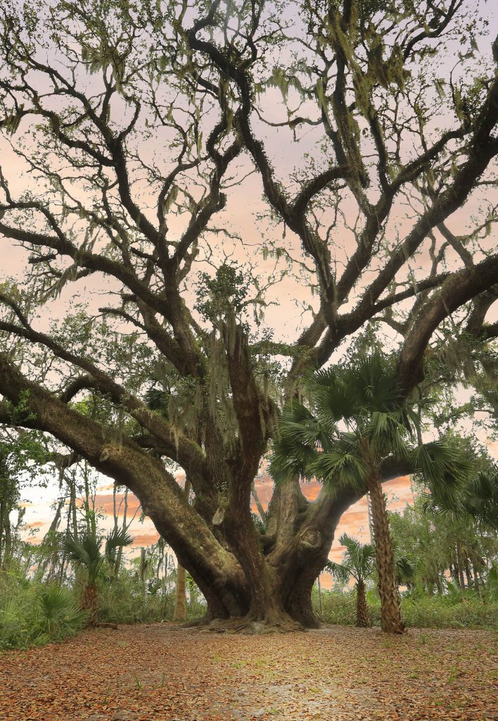 View of a Live Oak Tree at Lake Griffin State Park
