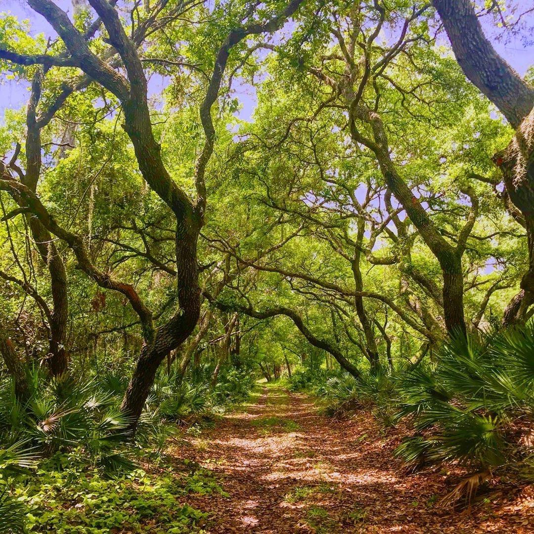Oak tree hammock over a trail
