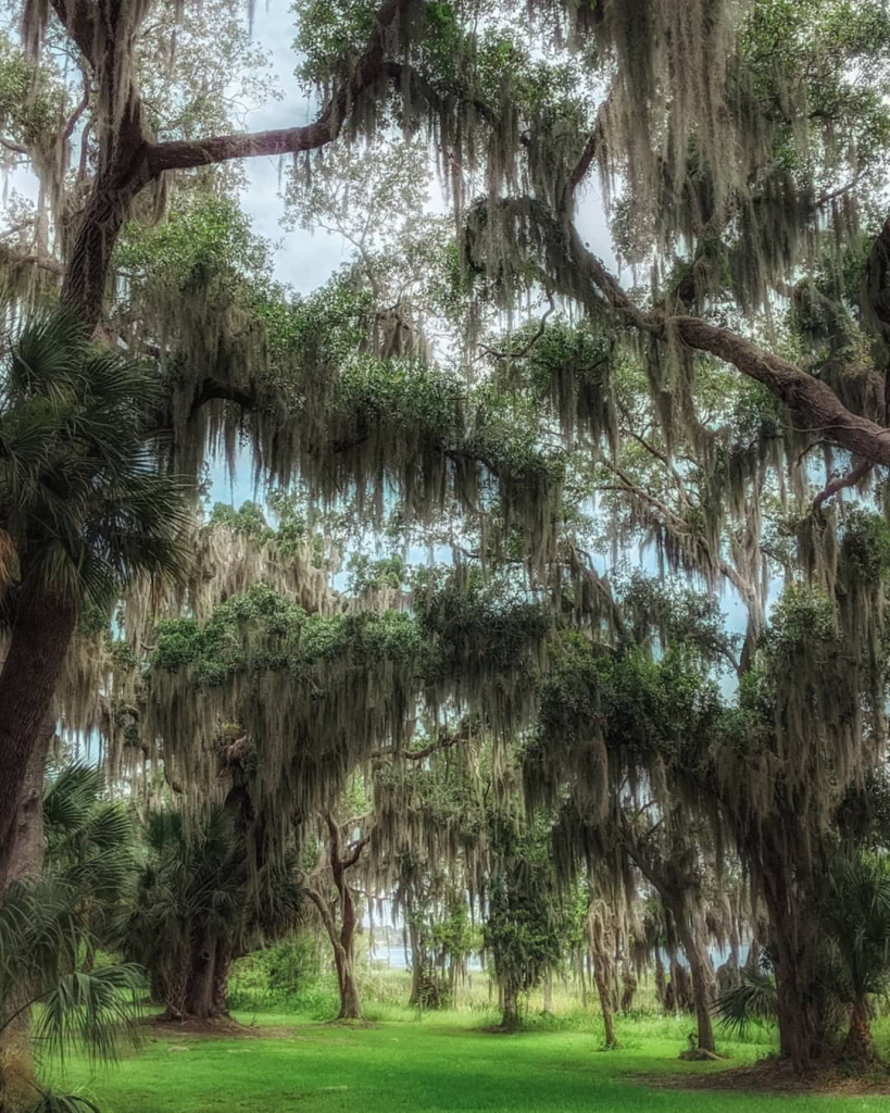 Canopy of Live Oak trees with spanish moss hanging from the branches.