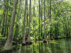 Photo of Cypress trees from the boat tour.