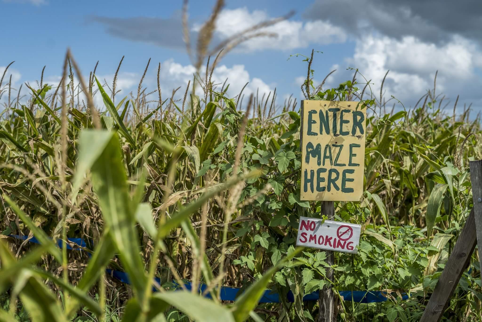 Long and scott, corn maze, fall