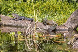 A baby alligator shares a fallen tree log with several turtles.
