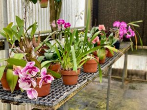 Several potted orchids sit on a table.