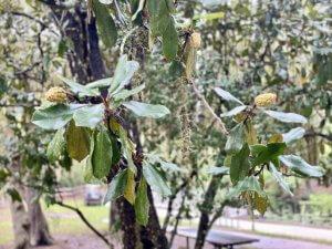 Buds on a Magnolia tree.
