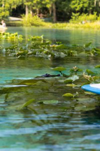 A baby alligator puts its head above water at Alexander Springs State Park.