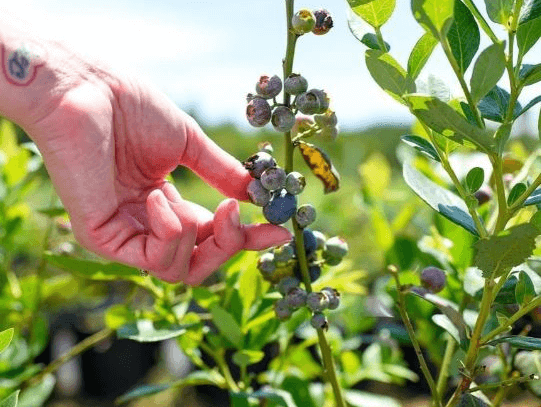 Blueberries at Blueberry Hill Farm.
