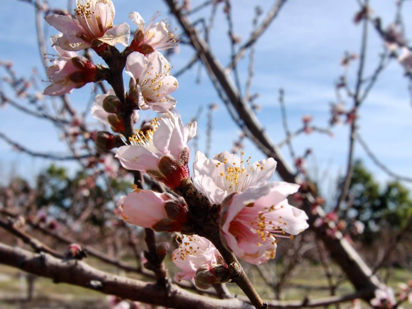 The peach trees flower at Graham's U-Pick.