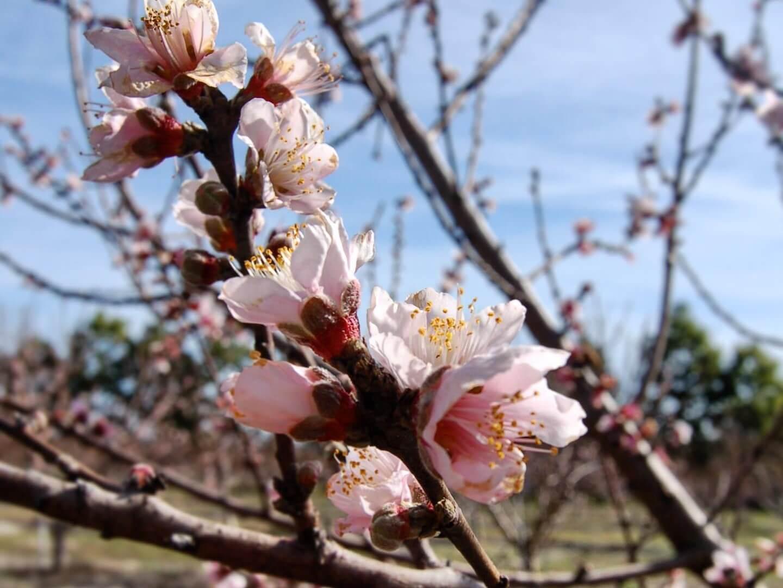 The peach trees flower at Graham's U-Pick.