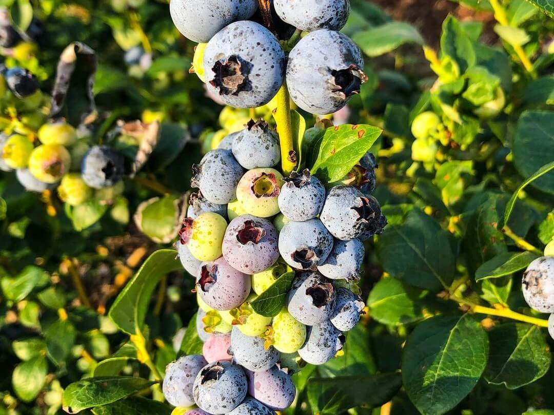 Blueberries at Southern Hill Farms.